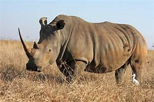 White Rhinoceros Animal Facts And Information