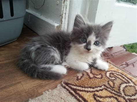 Kittens For Sale by Gorgeous Maine Coon Kittens For Sale Greenford
