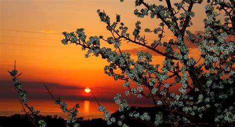 beautiful cherry flowers  spring sunset wallpaper