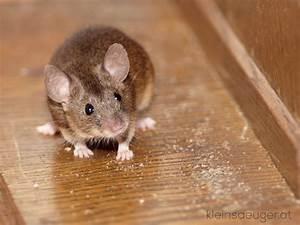 Unterschied Maus Ratte : hausmaus mus musculus ~ Lizthompson.info Haus und Dekorationen
