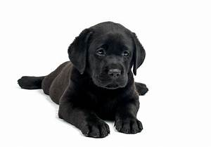 Black And White Labrador Puppies | www.pixshark.com ...