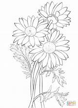 Coloring Daisy Printable Drawing sketch template