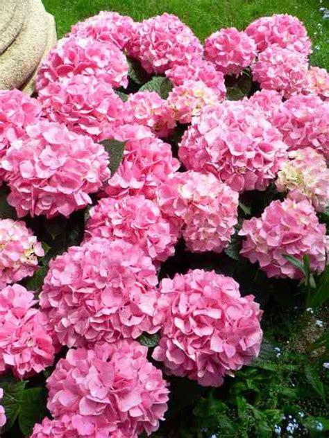 large pink flowering bush hydrangea macrophyllas demanding when comes 2 watering 187 spain info
