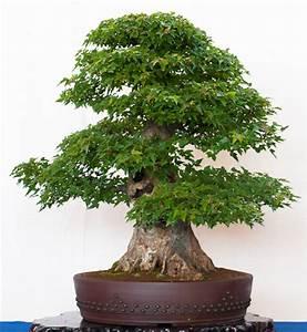 Bonsai Arten Für Anfänger : muss ein bonsai einen dicken stammansatz nebari haben ~ Sanjose-hotels-ca.com Haus und Dekorationen