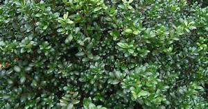 Shade or sun: Japanese holly (Ilex crenata) versatile ...