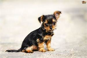 Chorkie Dog Breed Information, Buying Advice, Photos and ...