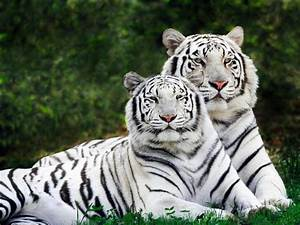 Prolonging me : Time To Speak UP !!: White Bengal Tigers