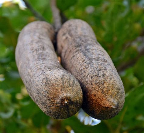 Facts We Bet You Didn't Know About The Sausage Tree