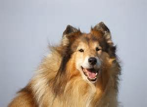 Collie Rough Dog Breed