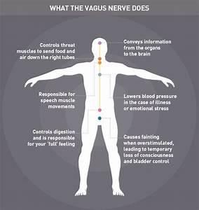 The Vagus Nerve Is The Longest Nerve Of The Autonomic
