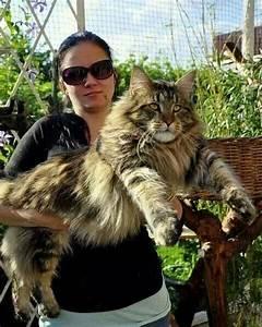 Ca Du Maine : a c 39 est du minous ginger maine coon maine coon chat chaton ~ Medecine-chirurgie-esthetiques.com Avis de Voitures
