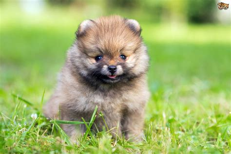 top tips  picking  ideal small breed dog