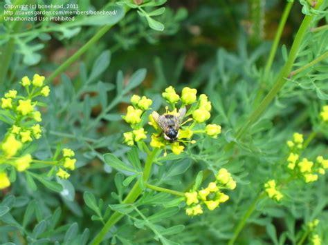 rue plants plantfiles pictures common rue garden rue herb of grace herbygrass ruta graveolens by bonehead