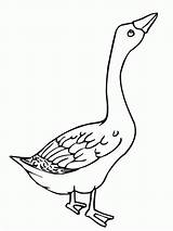 Goose Coloring Angry Colouring Clipart Duck Template Netart Bird Glass Stained Mother Ace Animal Popular Library Results Coloringhome Animals sketch template
