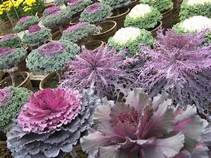 A. J. Rahn Greenhouses: Ornamental Cabbage and Kale