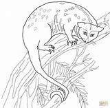 Possum Coloring Pages Drawing Printable Cuscus Designlooter Ipad 1200 34kb 1184px Getdrawings sketch template