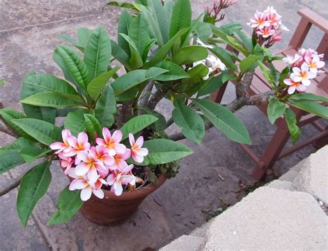 frangipani care in pots