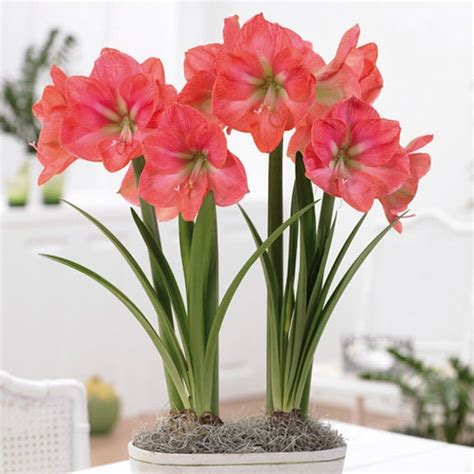 outdoor plants even though amaryllis is popular during the holidays the