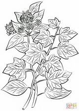 Ivy Coloring Pages Hedera Helix Drawing Common Leaves Flowers Printable Getdrawings sketch template