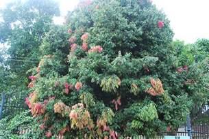 na tree quot mesua nagassarium quot sri lanka national tree flickr photo