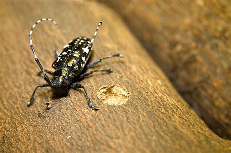 asian beetles august is tree check month for asian longhorned beetles hgtv