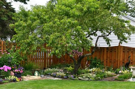 Backyard With Peach Tree And Wooden Fences