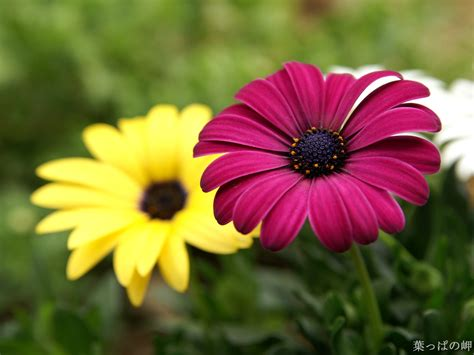 Flowers are one of the most beautiful creations of nature. Beautiful Flowers HD Desktop Wallpapers in 1080p ~ Super ...