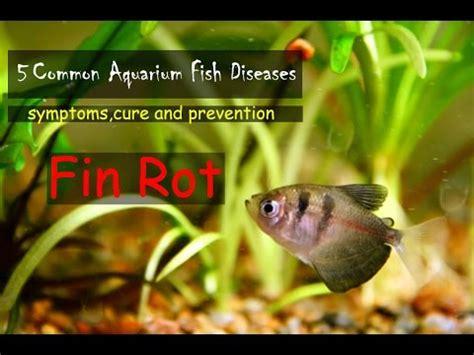 common aquarium fish diseases part  fin rot youtube