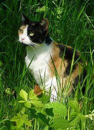 Iris Calico Cat