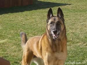 chloe belgian malinois dog breeds