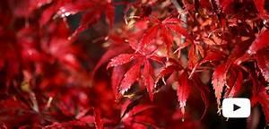 Erable Du Japon Entretien : sp cialiste de l 39 rable du japon erable du val de jargeau ~ Nature-et-papiers.com Idées de Décoration