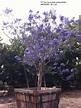 Jacaranda mimosifolia - Jimenez Nursery, Inc.