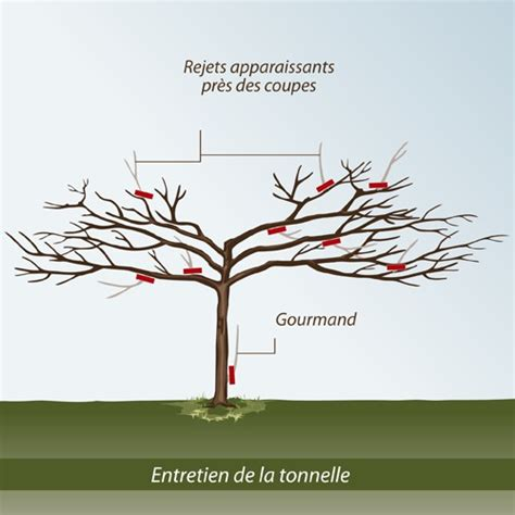 comment tailler un murier platane en forme parasol comment tailler un arbre en tonnelle