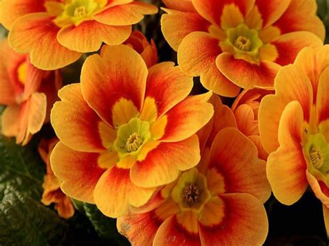 beautiful orange flowers wallpaper wallpaperscom