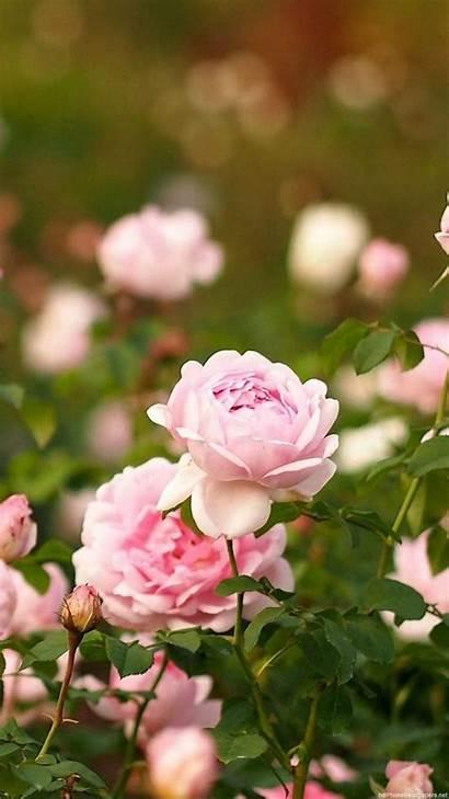Iphone Flower Rose Flowers Garden Wallpapers 1080p