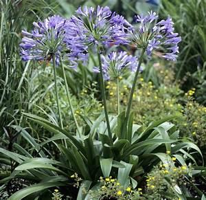 Graines D Agapanthe : fiche plante agapanthe jardin pinterest agapanthe ~ Melissatoandfro.com Idées de Décoration