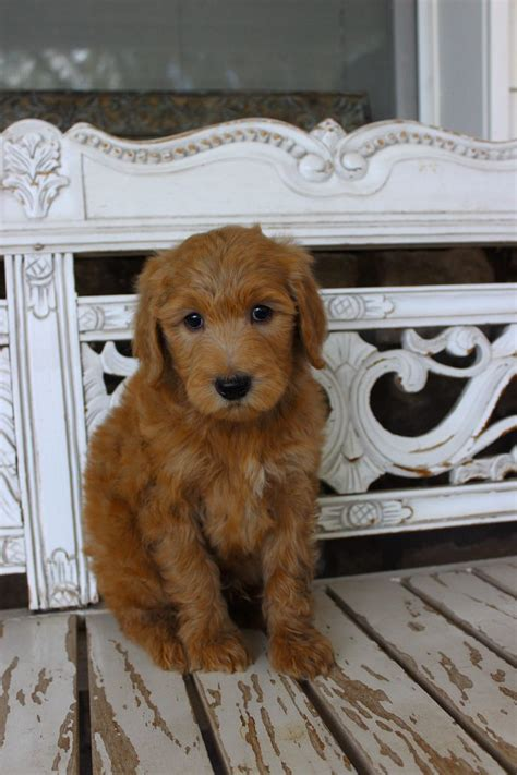 non shedding breeds goldendoodles smart and non shedding minigoldendoodle