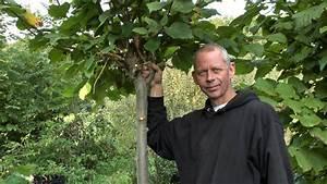 Hainbuche Baum Schneiden : b ume schneiden einen hochstamm in form bringen youtube ~ Watch28wear.com Haus und Dekorationen