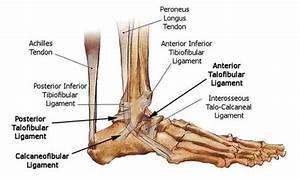 What is an ankle bone? - Quora  Calcaneofibular