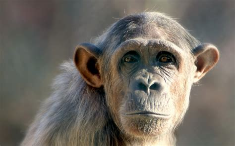 Monkey Background Monkey Hd Wallpaper 58 Images