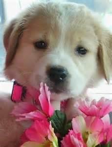 Golden Retriever Mix Puppies