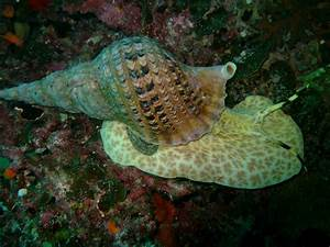 BillsDiving: Giant Sea Snail