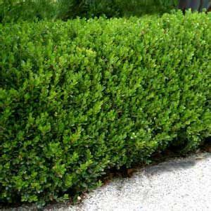 hedge bushes types one of the most common types of shade hedges is the boxwood these shade hedges can be grown in