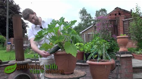 plant de courgette en pot growing zucchini courgette plants in a pot