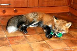 rescued fox is the mix of cat and