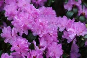 rhododendron when to plant rhododendron pjm elite
