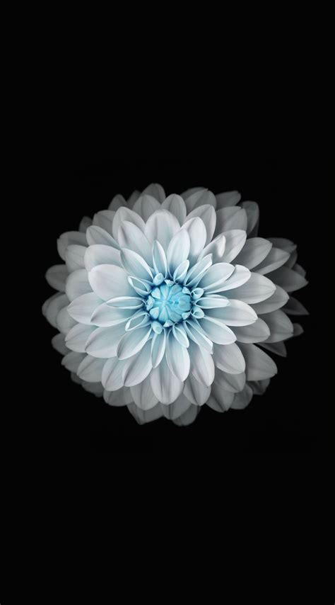Flower Iphone Black Background Wallpaper by Flower Black And White Wallpaper Sc Iphone6splus