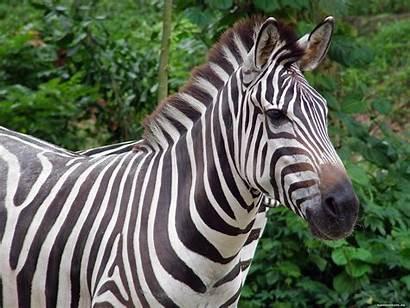 Zebra Wallpapers Laptop Wallpics Zebras Riscas Animal