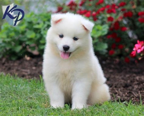 White Samoyed Puppy