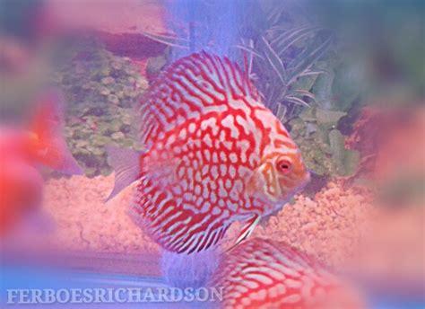Burger Pakan Ikan Discus pakan yang baik untuk ikan discus ferboes